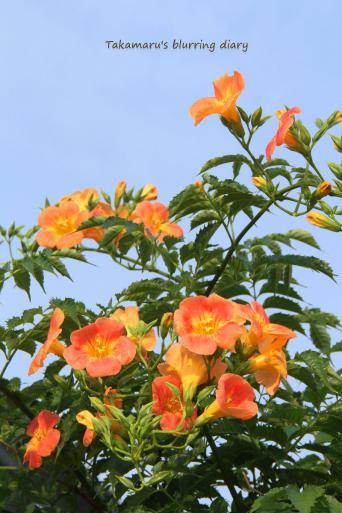 夏らしい花です