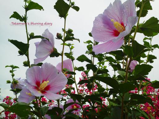 夏の花は鮮やかです・・加工もしてますけど