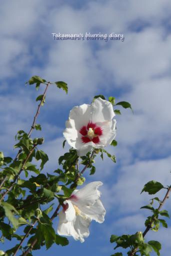 息の長い花です