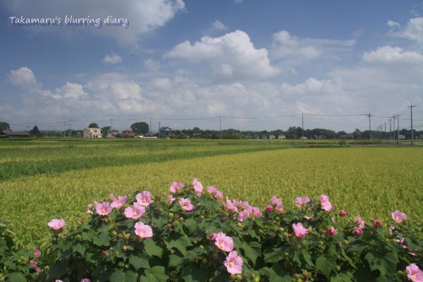 道沿いに延々と芙蓉が植えられていてキレイでした。