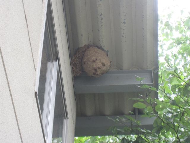スズメ蜂1