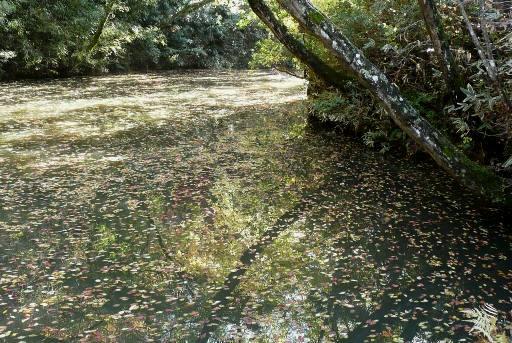桜ヶ池の落葉