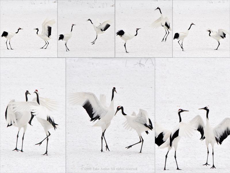 2010鶴求愛ダンス