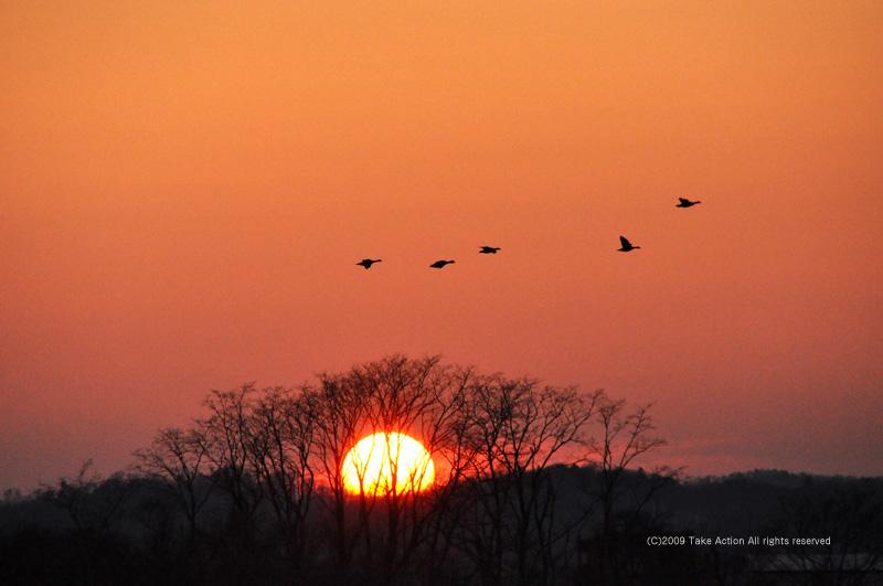 夕日とマガン2010