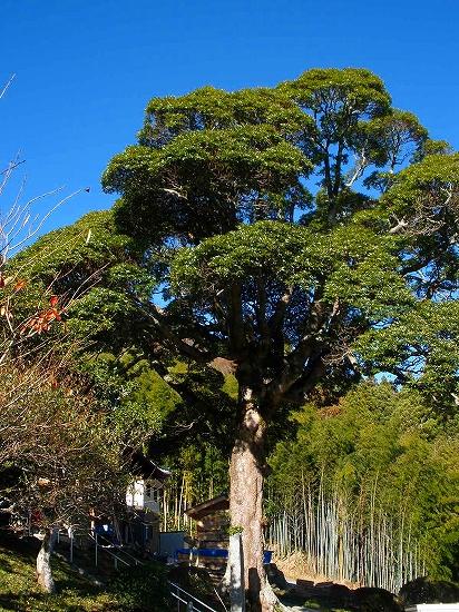 龍昌寺椎の木