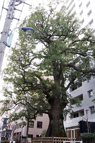 130217東京 本郷弓町の楠②