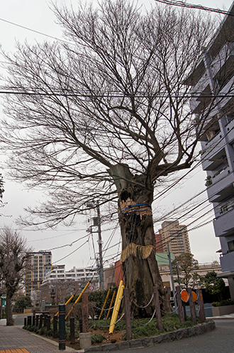 130303東京 善光寺坂の椋①