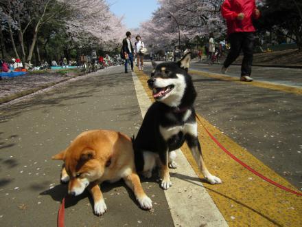 sakura-haru2.jpg