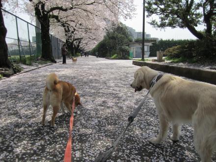 sakura-merry.jpg