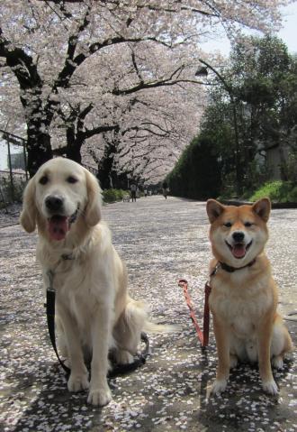 sakura-merry2.jpg