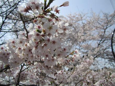 sakura2010-2.jpg