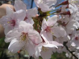 1045桜2