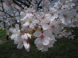 1045桜3