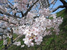 1045桜4