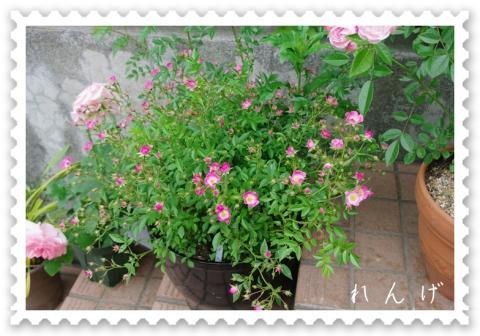 rosegarden 004