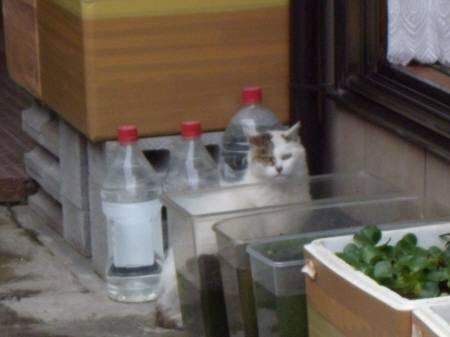 ブログ用-4若林3丁目レオパレス近くの猫 006