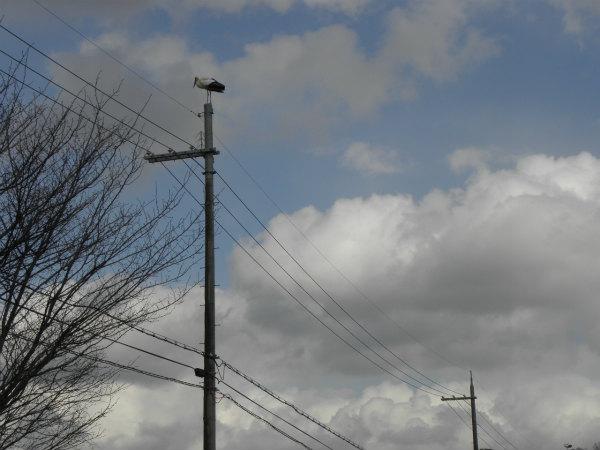 見えるでしょうか? 右下の電柱に最初の1羽が止まっています。