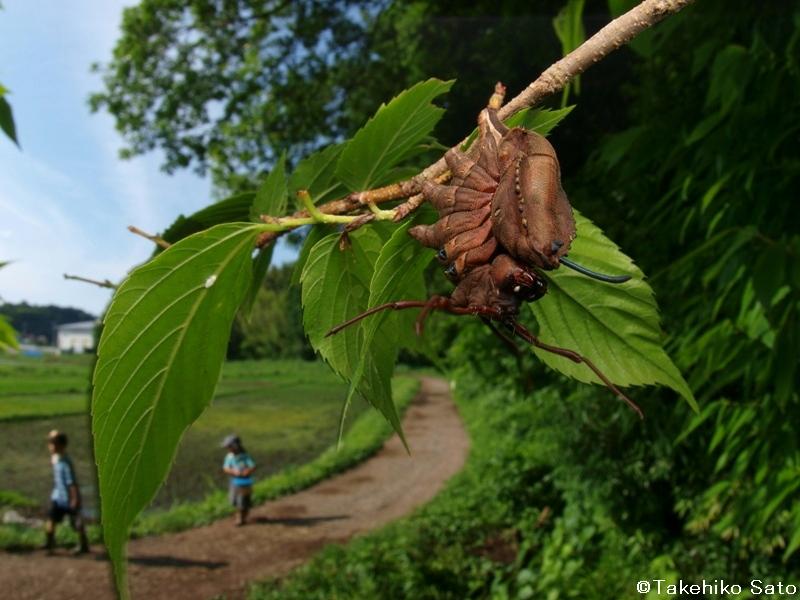 シャチホコガの幼虫