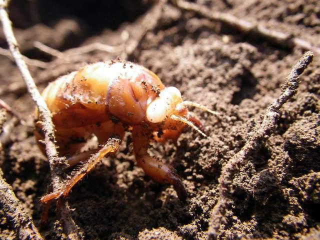 20124 セミ 幼虫 拡大 5