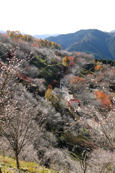 藤岡_冬桜公園01