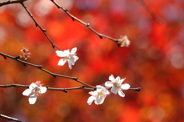 藤岡_冬桜公園02