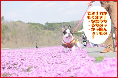 2010芝桜6