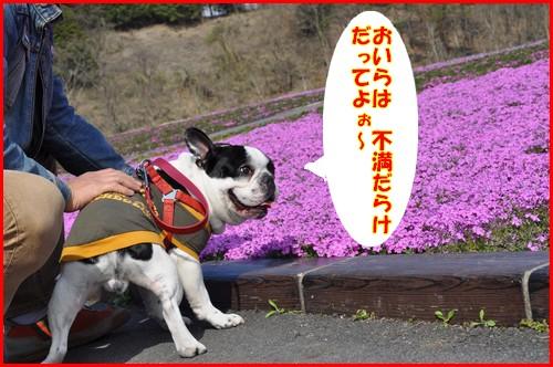 2010芝桜7