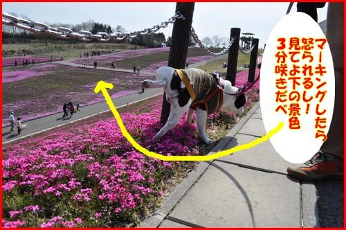 2010芝桜9