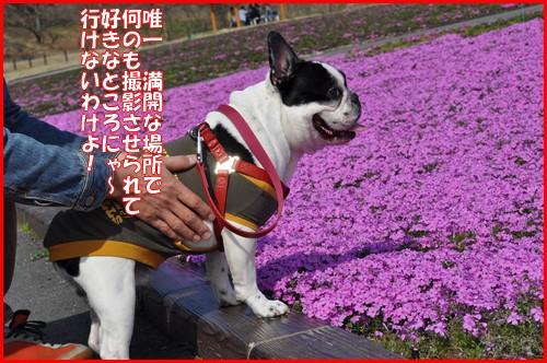 2010芝桜11