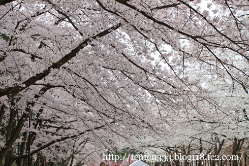 弘前桜2010-4_e