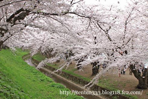 弘前桜2010-1_e