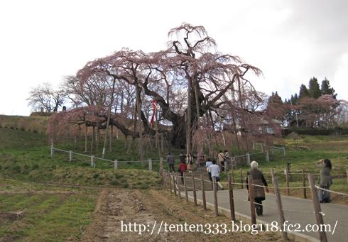 三春滝桜-5_e
