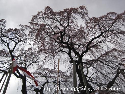 三春滝桜-3_e