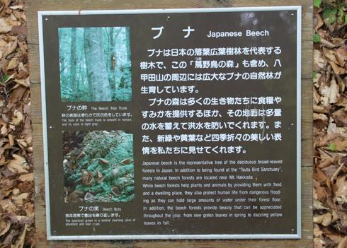 蔦沼とブナ-5