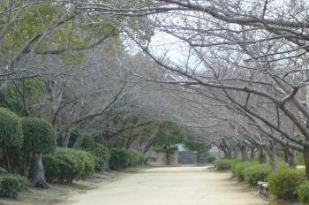 桜の並木道