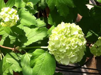 ビバーナムの開花