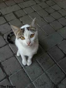 トルコ 猫