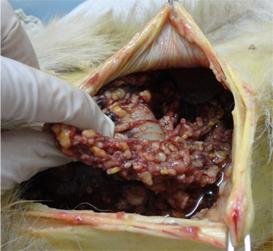 犬の肝に出来た転移性腫瘍5