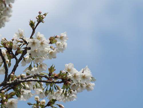 白桜48の1