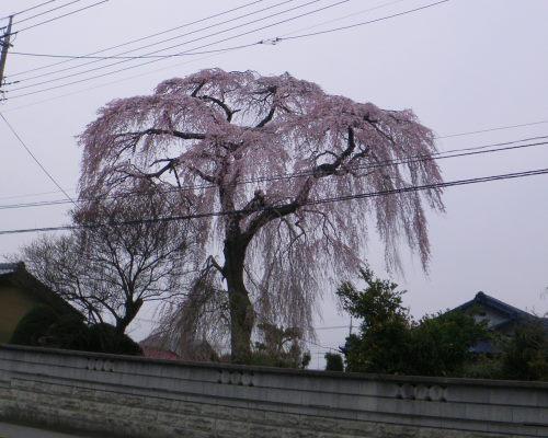 しだれ桜49の5