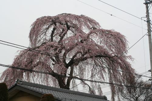 しだれ桜49の1