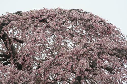 しだれ桜49の2