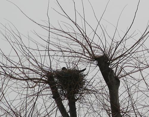 カラスの巣49