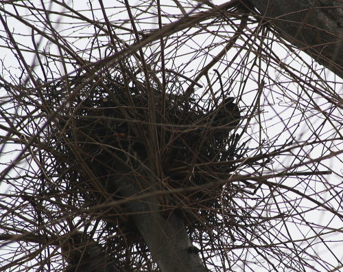 カラスの巣49の1