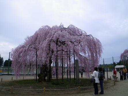 孝子桜411の5