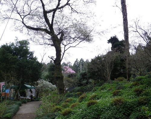 ニリンソウの庭411