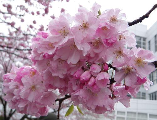 思川桜417の1