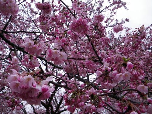 思川桜417