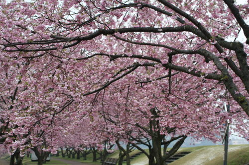 桜並木417の6