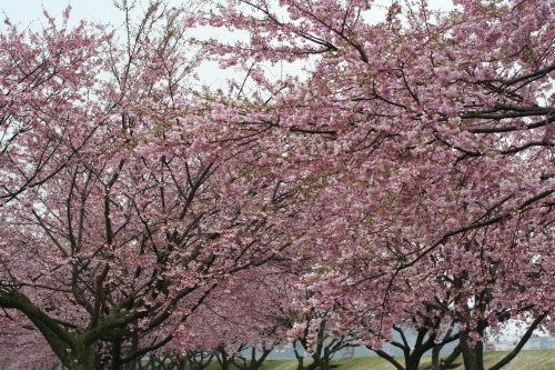 桜並木417の5